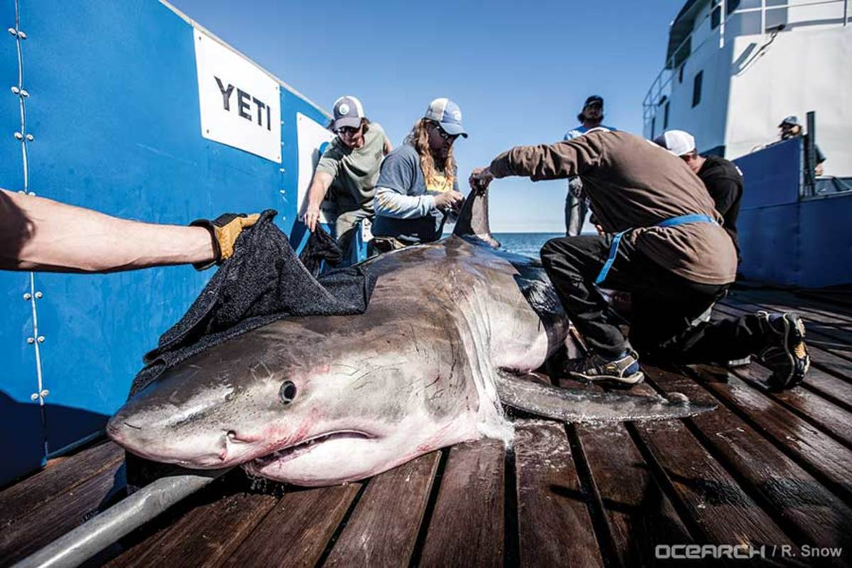A shark's dorsal fin is tagged  with tracking technology that transmits  the fish's position to satellites.