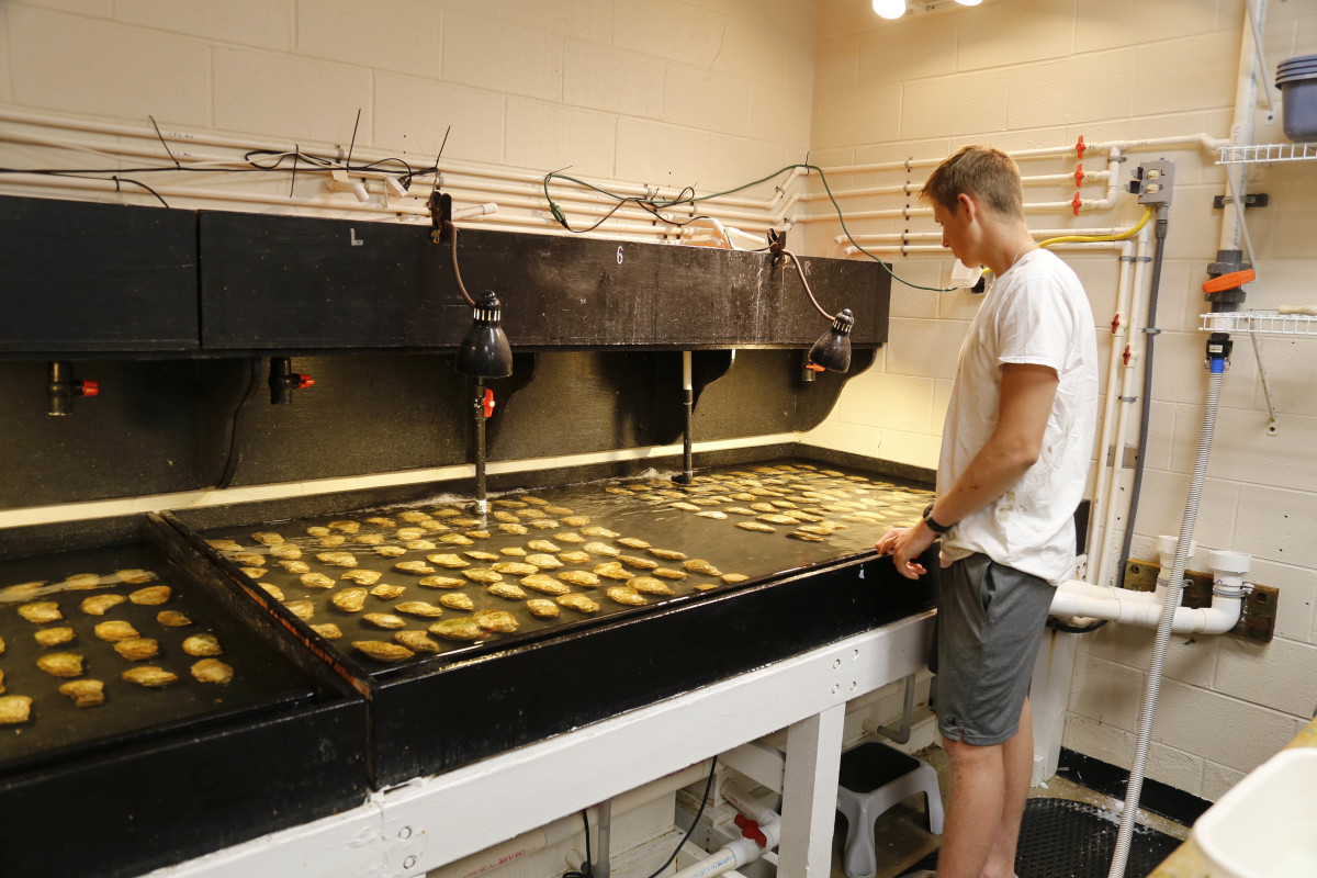An intern at the Horn Point Laboratory in Cambridge, Maryland, looks for signs of spawning in an oyster hatchery table. Low salinities have impacted the facility's ability to produce oyster seed and spat on shell for the aquaculture industry and oyster restoration efforts.