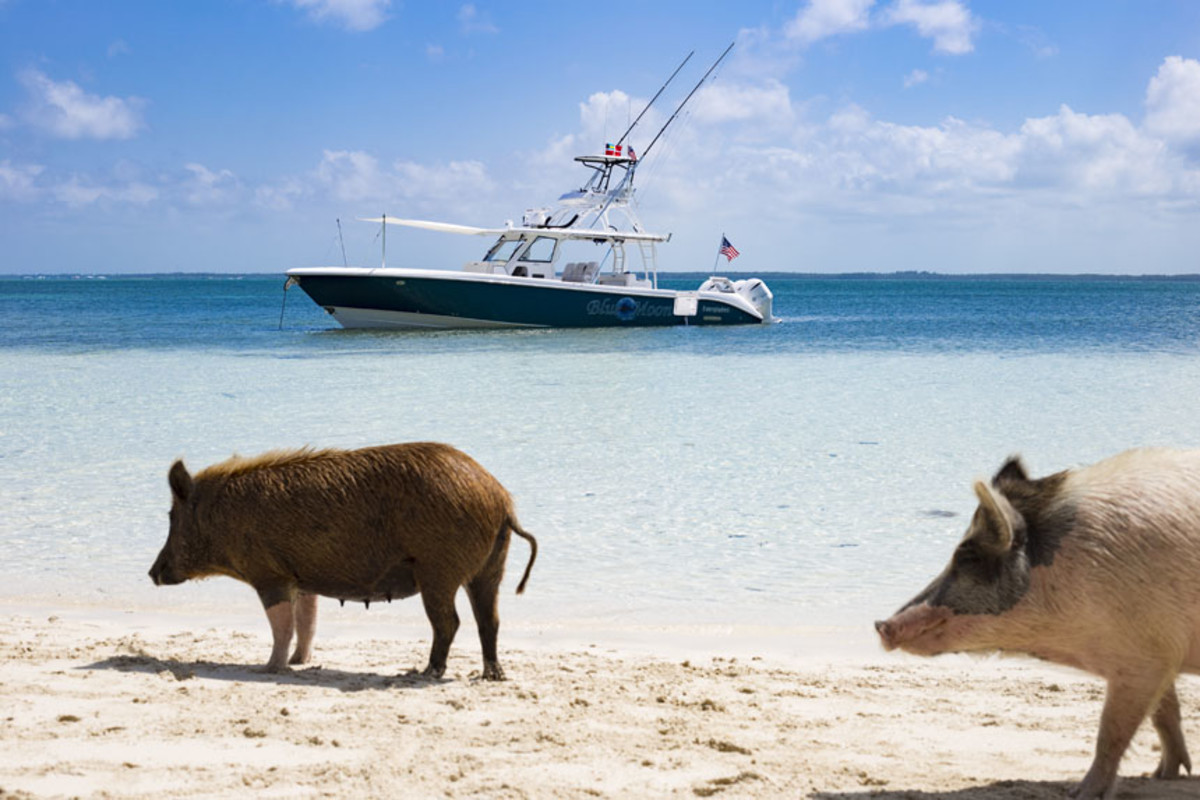 Apple bandits patrol Piggyville on No Name Cay.