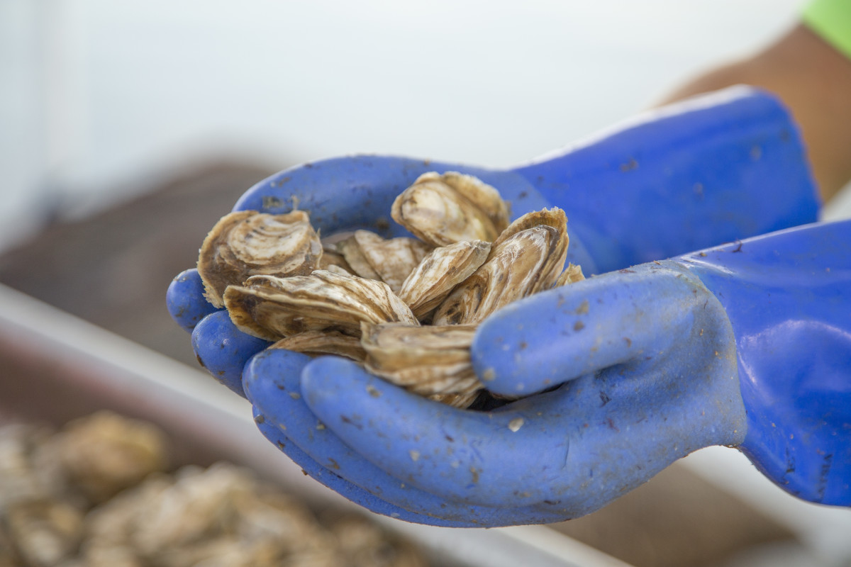 Farmed oysters fresh from the boat on Tangier Island, Virginia.