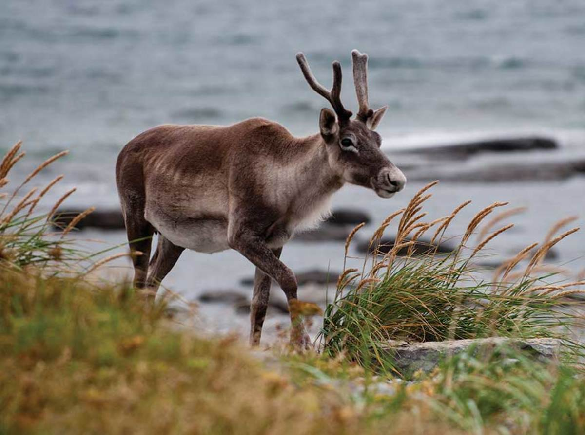 A female caribou on the northern shore at Pointe Riche near Port au Choix.