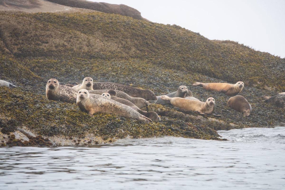 Harbor seals on Deadman's Ledge