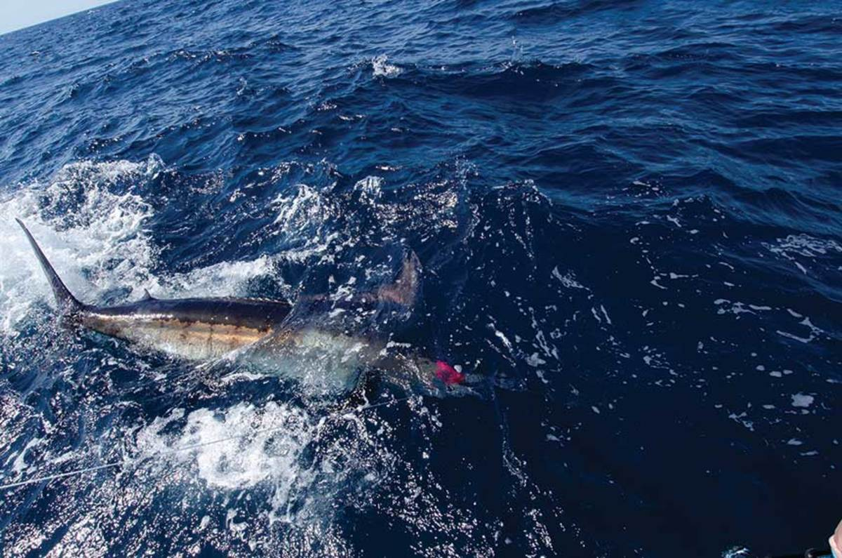 Marlin, like this blue, are being found farther north every year.