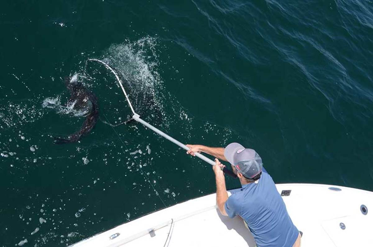 A nice cobia comes to the net. This fish is considered a determined fighter.