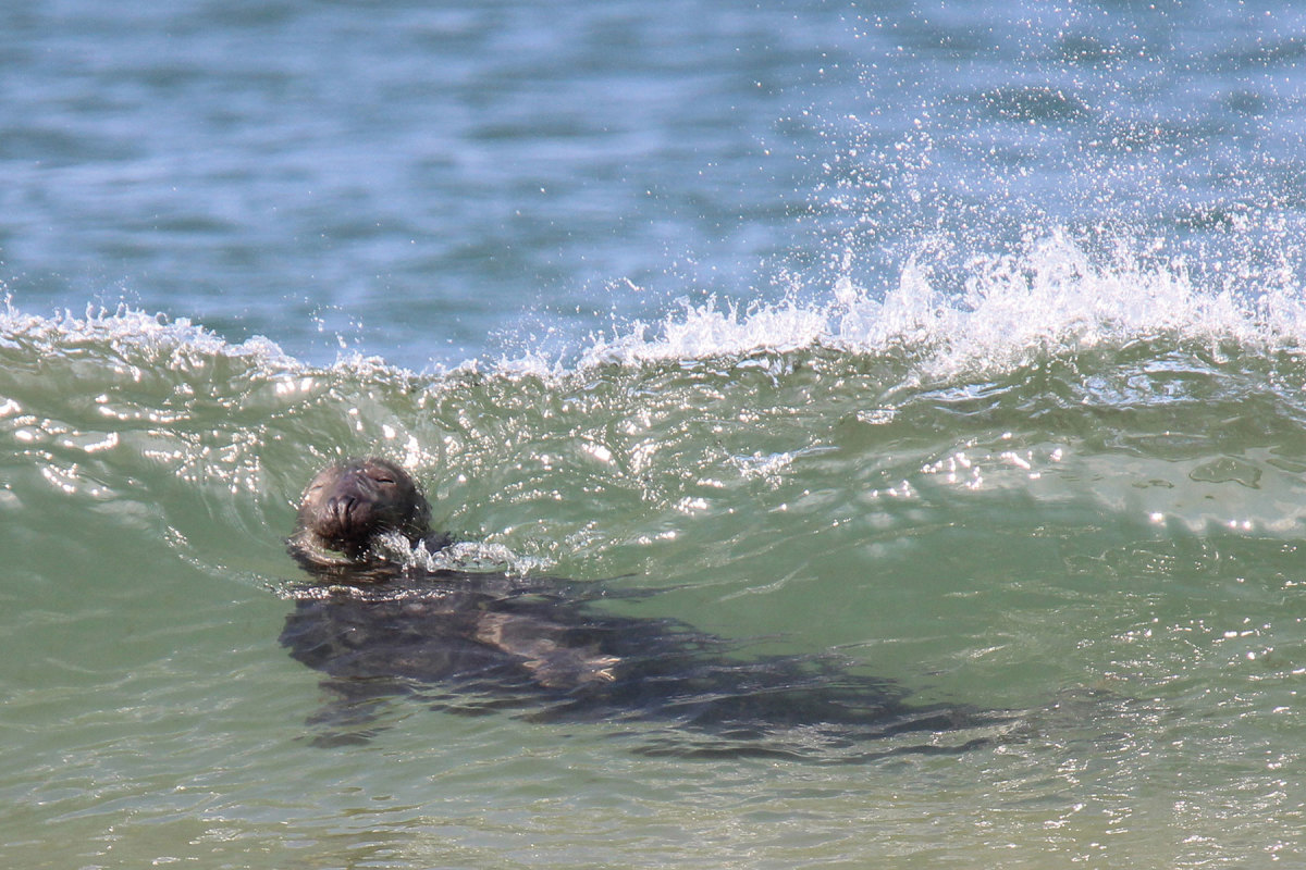 An increase in gray seals is one reason there are more sharks off Cape Cod.
