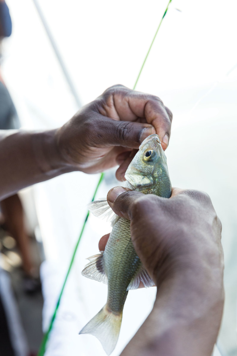 Rods and reels are used to catch white perch for dinner.